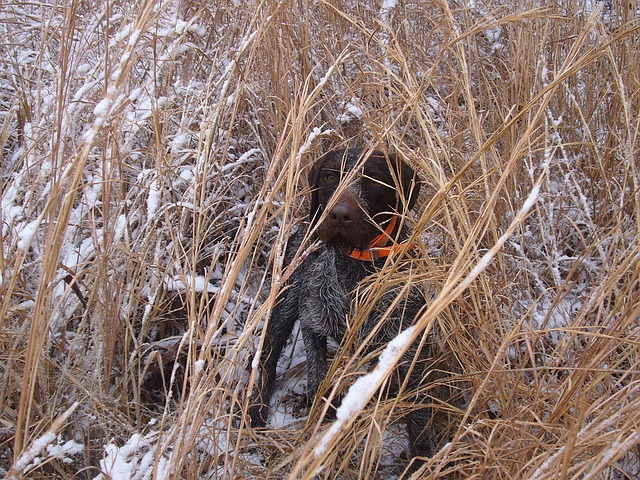 Your Dogs First Hunt – The Final Step