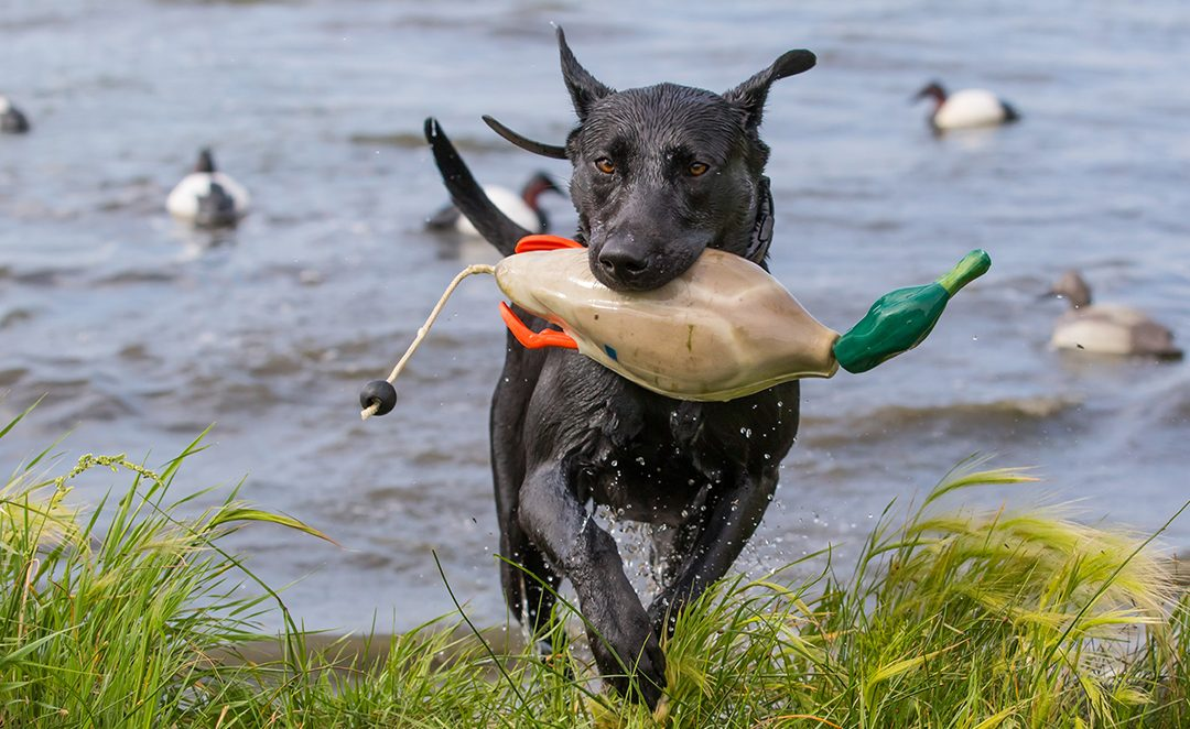 Hunting Dog Training Tips for the First Year